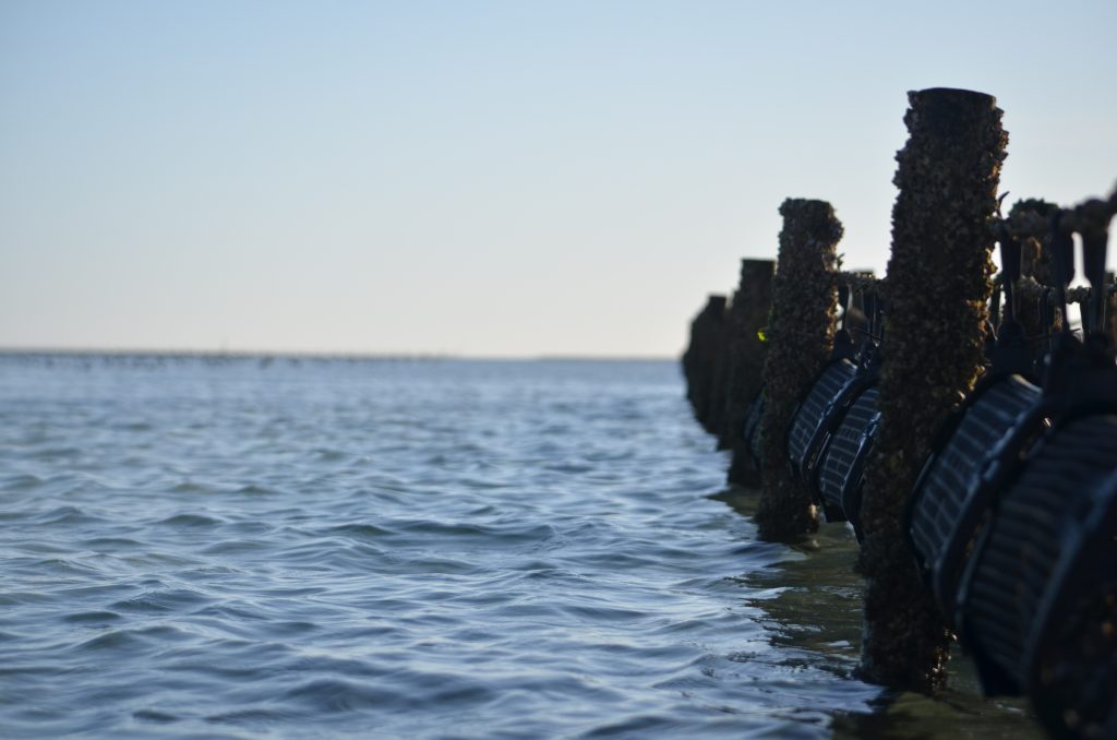 Oysters rely on the changing tide to develop