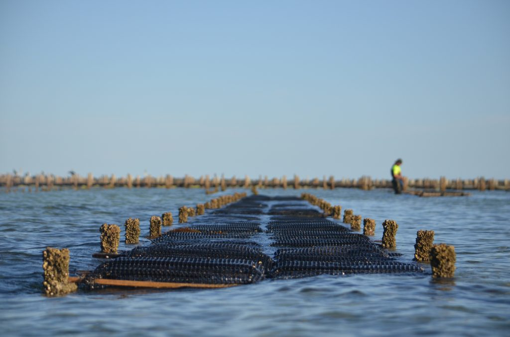 How most oysters are grown in Smoky Bay