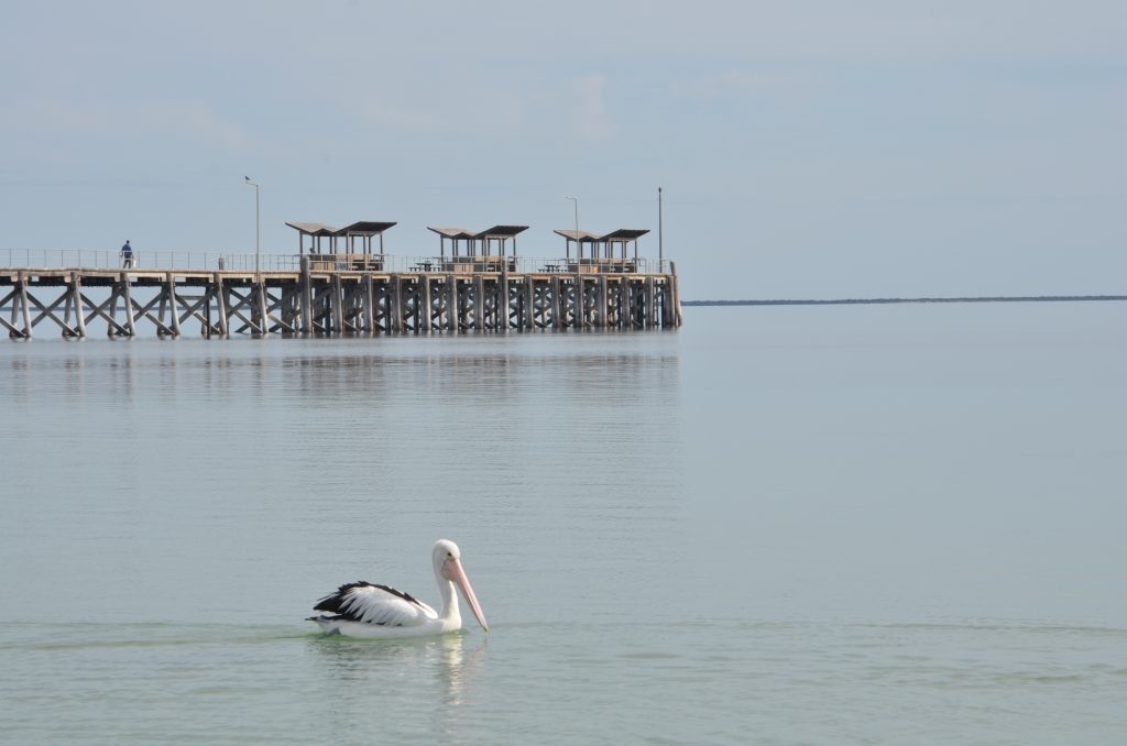 A local pelican enjoying the afternoon with the Smoky Bay jetty in the background